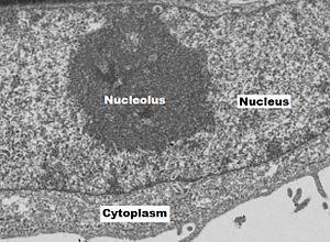Nucleolus - Image: Nucleolus N Cc