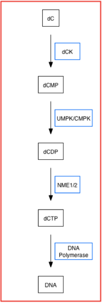 Deoxycytidine kinase - dCK's Role in the Nucleoside Salvage Pathway