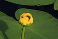 Nuphar variegatum 4 PP.jpg