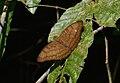 Nymphalidae (24606366005).jpg