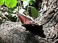 Nymphalis antiopa (Nymphalidae) - (imago), Lake Ontario (NY), United States.jpg