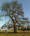 Oak at Studley Royal - geograph.org.uk - 706647.jpg