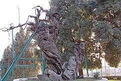 Oak of Mamre 1