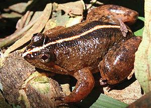 Common puddle frog - Image: Occidozyga laevis from Dyadyadin Zoo Keys 266 001 g 033