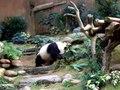 File:Ocean Park panda.ogv
