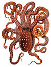 Octopus macropus Merculiano.jpg
