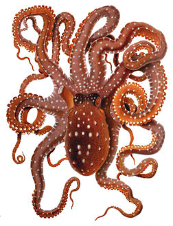 Poulpe tacheté (Callistoctopus macropus). (définition réelle 1607×2100)