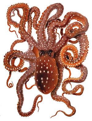 Callistoctopus - Callistoctopus macropus