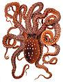 Octopus macropus Merculiano.jpg