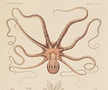 Octopus ornatus Gould.jpg