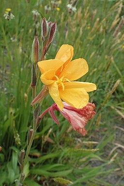 Oenothera stricta kz3