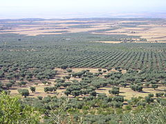 Oliveti a sesto irregolare (primo piano) e regolare (secondo piano), in Puglia