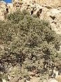 Ooras tree , درخت اورس ، سرو کوهی - panoramio.jpg