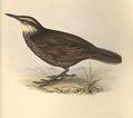 Opetiorhynchus lanceolatus.jpg