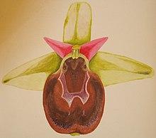 Ophrys argolica crabronifera DIS01.jpg