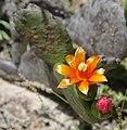 Opuntia inamoena (2).jpg