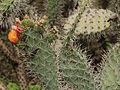 Opuntia soederstromiana-IMG 8851.JPG