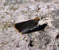 Orange-edged Roadside Skipper. Amblyscirtes fimbriata. - Flickr - gailhampshire (1).jpg
