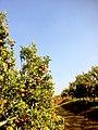 Orange Plantation (PyinOoLwin).jpg