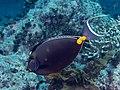 Orangespine unicornfish (Naso lituratus) (37331504505).jpg