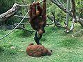 Orangutans-Siamang04.jpeg