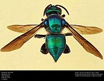 Orchid Bee (Euglossini, Exaerete dentata) (26062490112).jpg
