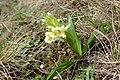 Orchis provincialis kz03.jpg