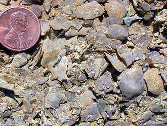 Birbal Sahni Institute of Palaeobotany - Brachiopods and bryozoans in an Ordovician limestone, southern Minnesota