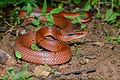 Oreocryptophis porphyraceus pulchra, Red bamboo rat snake - Doi Phu Kha National Park (48502155162).jpg