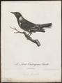 Oriolus larvatus - 1796-1808 - Print - Iconographia Zoologica - Special Collections University of Amsterdam - UBA01 IZ16400193.tif