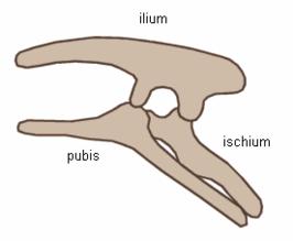 De typische bekkenstructuur van de Ornitischia met teruggeklapte ossa pubis