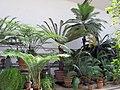 Orto botanico, fi, serra fredda, cicadee 01.JPG
