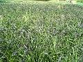 Oryza sativa subsp paddy field.jpg