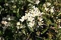 Osteomeles-schwerinae-flowers.jpg