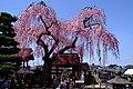 Otohimezakura.jpg