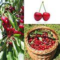Owoce Czereśnia.jpg