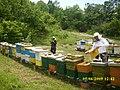 Pčele na lipi - panoramio (1).jpg