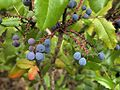 P20110717-0142--Berberis aquifolium--RPBG (9194263655).jpg