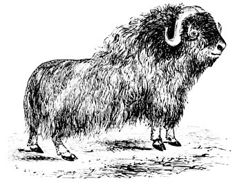 PSM V10 D708 The musk ox.jpg