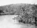 PSM V66 D566 Mangroves of walshingham bay.png