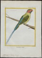 Palaeornis longicaudus - 1700-1880 - Print - Iconographia Zoologica - Special Collections University of Amsterdam - UBA01 IZ18500073.tif