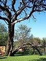 Palmietvlei tree - panoramio.jpg