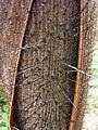 Palmiste noir gaine foliaire P1090519.JPG