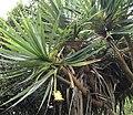 Pandanus heterocarpus - Grande Montagne NR 5.jpg