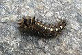 Panthea coenobita larva Karpacz.jpg