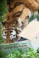 Panthera tigris at the Bronx Zoo 003.jpg
