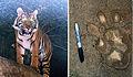 Panthera tirgis sumatrae (12616238405).jpg