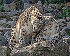 Panthera uncia - Zoo Karlsruhe 03.jpg