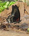 Papilio polymnestor Cramer, 1775 – Blue Mormon at Kottiyoor Wildlife Sacntuary (5).jpg