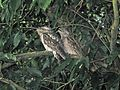 Papuan Frogmouth - Flickr - GregTheBusker (2).jpg